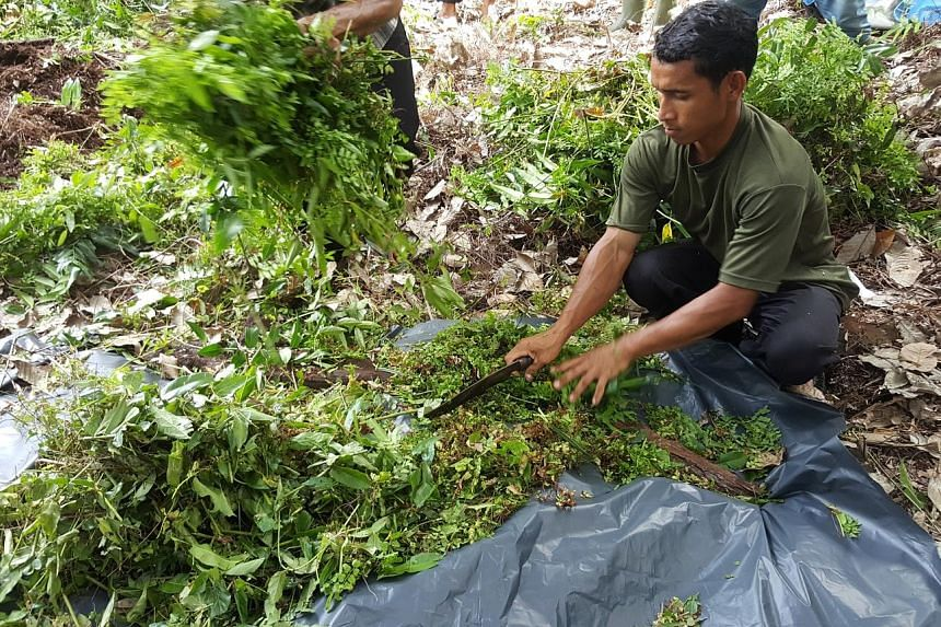 A villager in Riau province chopping shrubs into smaller pieces as part of the composting process. While the method of slash-and-burn is simpler and cheaper, farmers are learning the composting method to alleviate the haze situation.