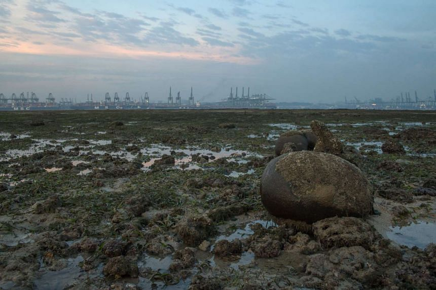 Singapore's underwater gardens have mostly recovered from the longest bleaching incident. The six-month episode, which stretched from June to last month, had caused about 15 per cent to 20 per cent of the corals to die. Still, the mortality rate was