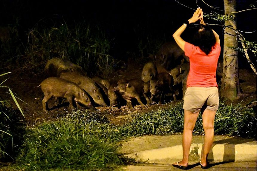 A woman spotted interacting with wild boars at the junction of Pasir Ris Drive 3 and Pasir Ris Farmway last Thursday evening. Some residents in the area support feeding the boars, but others say wild animals should not be fed.