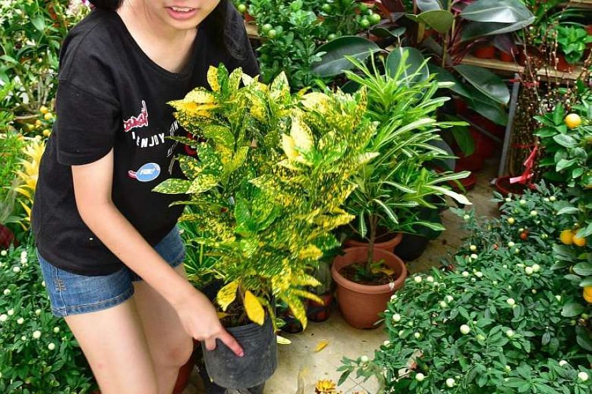 """When exposed to sunlight, the leaves of the Coleus plant turn yellow, giving rise to its Chinese name which translates to """"floor full of gold""""."""