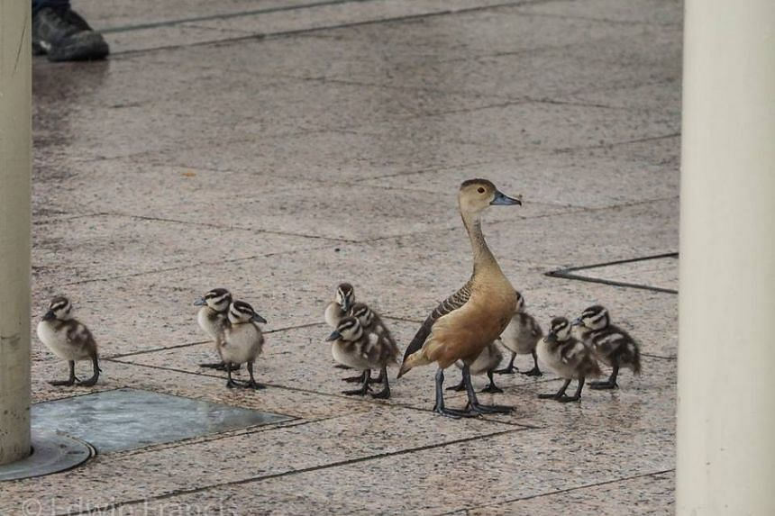 A mother duck and her ducklings were seen at the National Gallery Singapore on Jan 18, 2017.