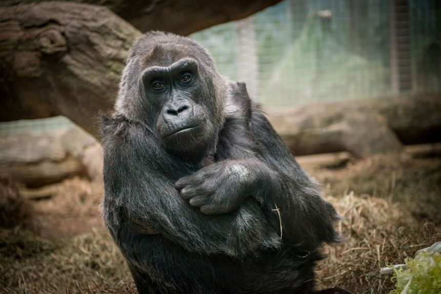 Colo, the oldest gorilla born in captivity, sits in Columbus Zoo in Columbus, Ohio  in 2014.