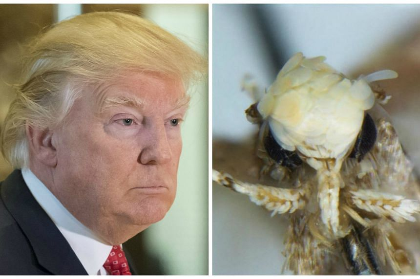 Donald Trump's hairstyle (left) inspired scientists to name a new species of moth (right) Neopalpa donaldtrumpi.