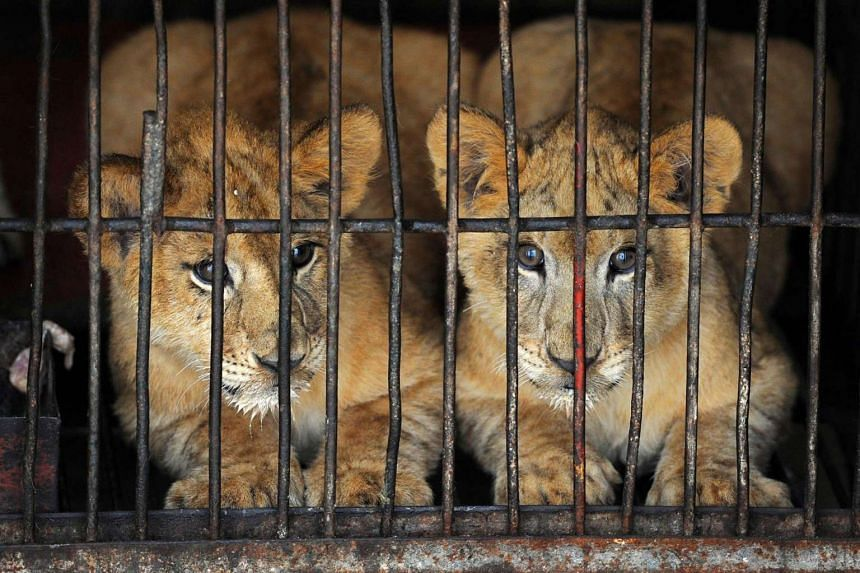 Four-month-old lion cubs are kept in a cage in Suzhou, China, in 2012.