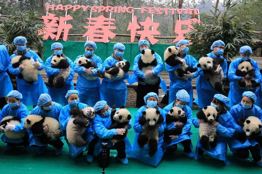 Giant panda cubs posing for a Chinese New Year greeting.