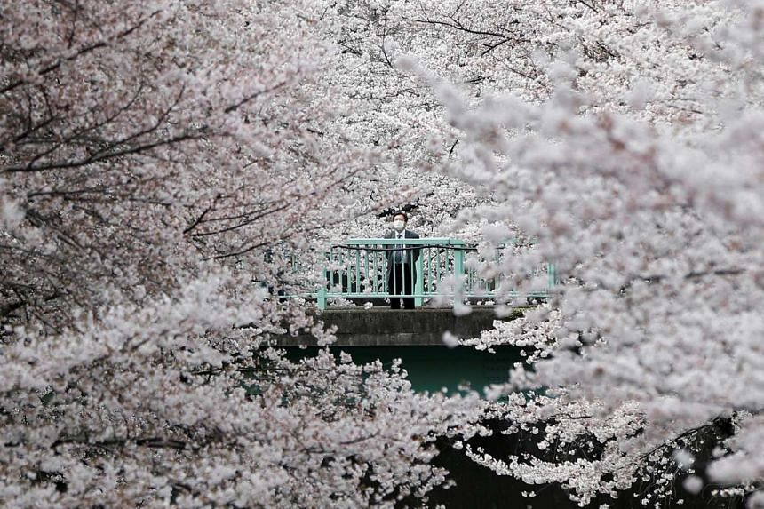 A man looks at cherry blossoms in full bloom in Tokyo on April 1, 2016.