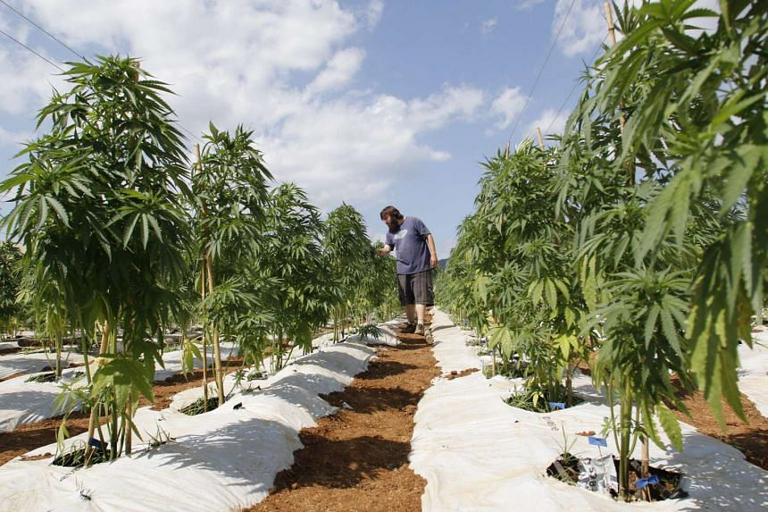 A man working in a cannabis plantation located at Colbun town rural area, 270 km south of Santiago, Chile on Jan 11, 2016.