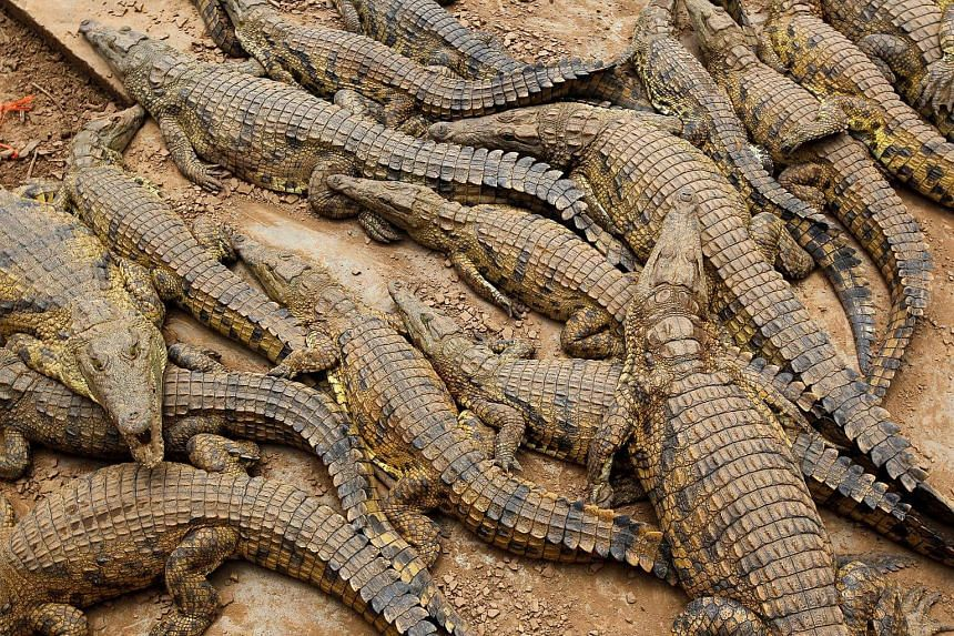 File photograph of crocodiles lying in pens at a crocodile farm near Mussina, South Africa.