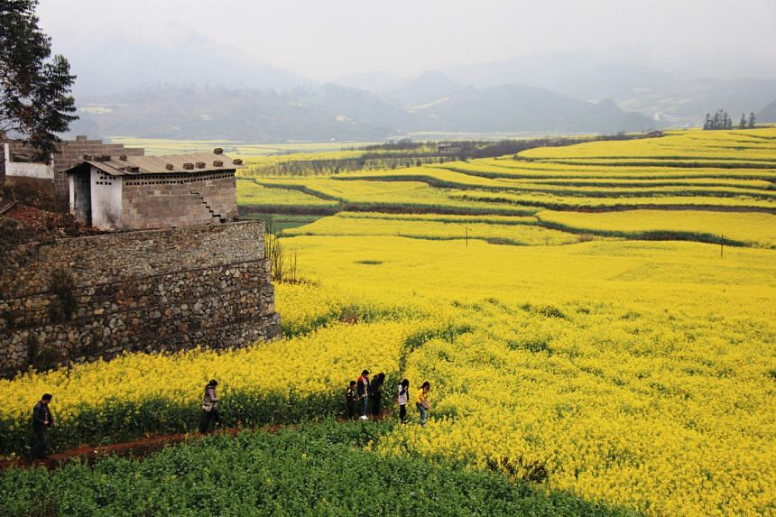 The fields in Luoping Basin in China's Yunnan province, awash with blooming canola flowers. Canola fields in Vietnam are expected to bloom in February and March this year.