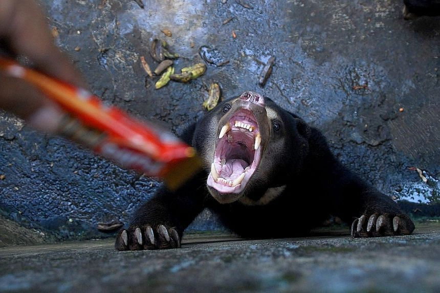 The sorry state of the sun bears, which have been seen seemingly begging for food and with protruding bones (above and right), has prompted wildlife activists to demand that the zoo be shut down.