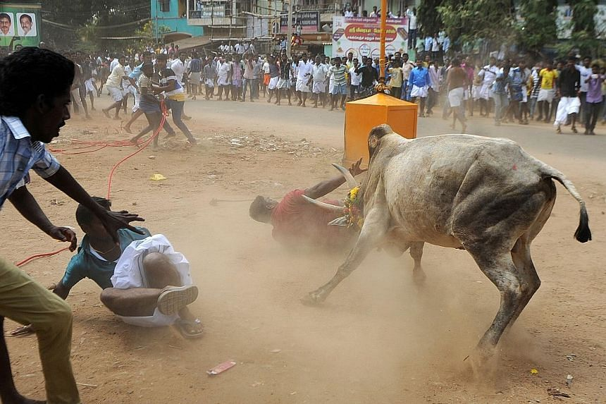 A bull charging through a crowd during Jallikattu on the outskirts of Madurai in Tamil Nadu earlier this month. Most villages had complied with the ban, but a few continued to defy it.