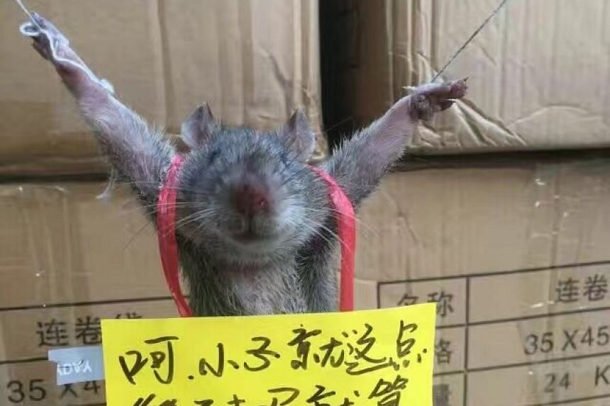 The rat was tied up for stealing rice from a convenience store.