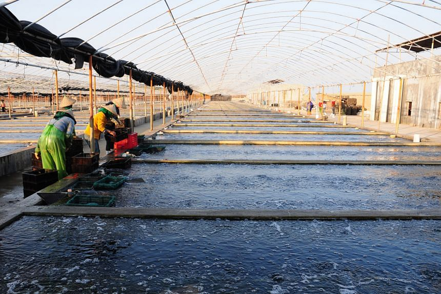 Instead of growing abalones to maturity at its land-based farms in China, Oceanus is now spawning juveniles and selling them to other farmers. This helped to slash costs by more than 50 per cent last year.