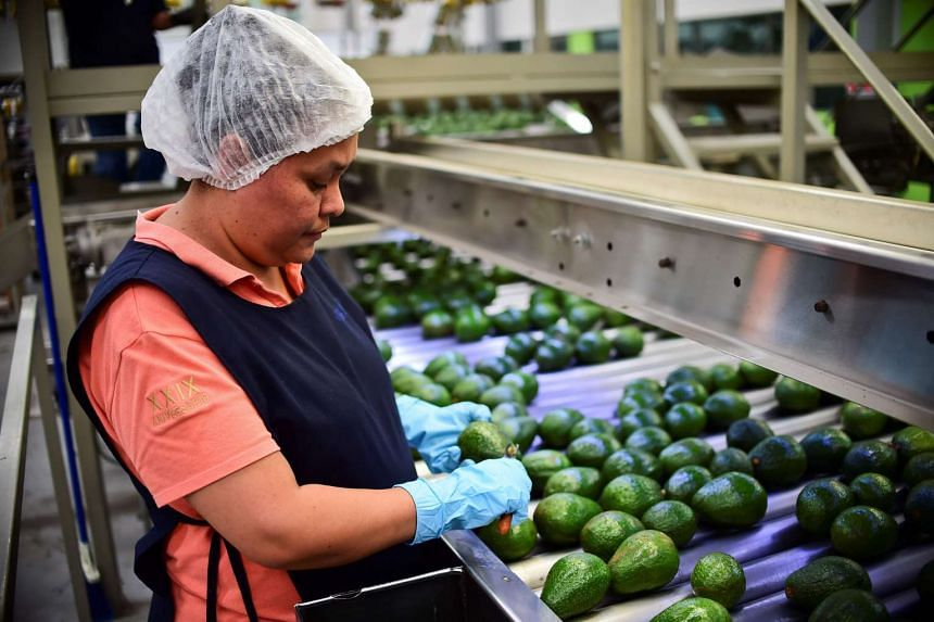 A employee works at an avocados packaging plant in the municipality of Uruapan, Michoacan State, Mexico.