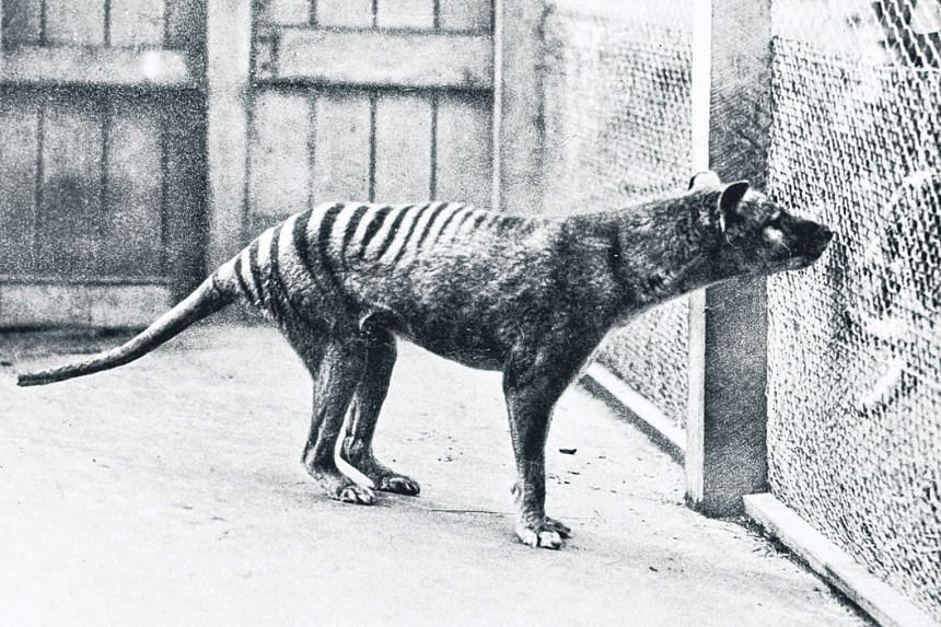 With its slender body and long snout, the Tasmanian tiger looks as if it could be related to a dog or wolf.
