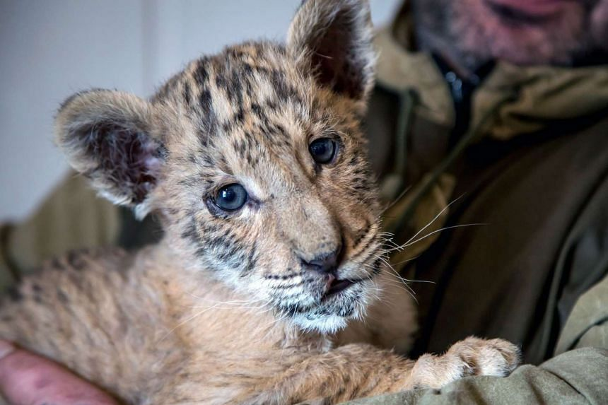 A zoo keeper holding two-month-old liger cub Tsar in the town of Kamensk-Shakhtinsky, Russia, on Jan 26, 2017.