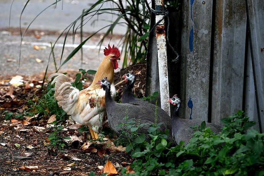 A chicken and guinea fowl near Turf City yesterday. AVA said it received complaints about noise from free-ranging chickens last year and plans to cull them due to a lack of relocation options in land-scarce Singapore. NParks is mulling over culling t