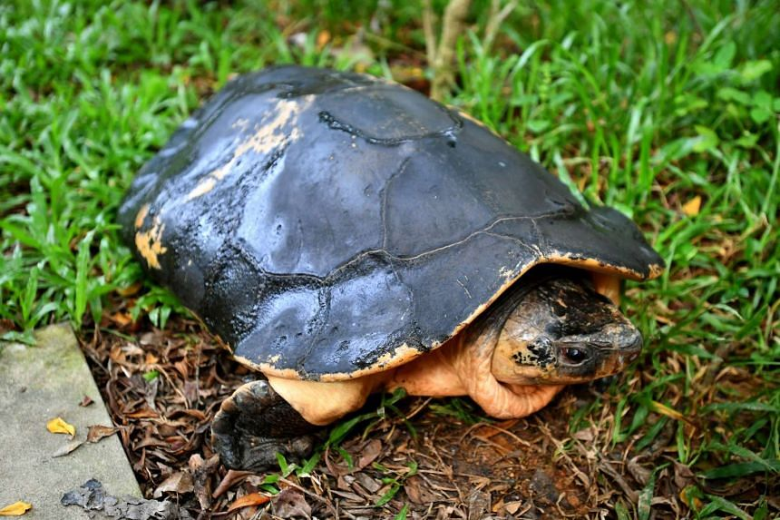 Rahayu, an endangered Malaysian giant turtle, will be repatriated to its habitat in Malaysia.