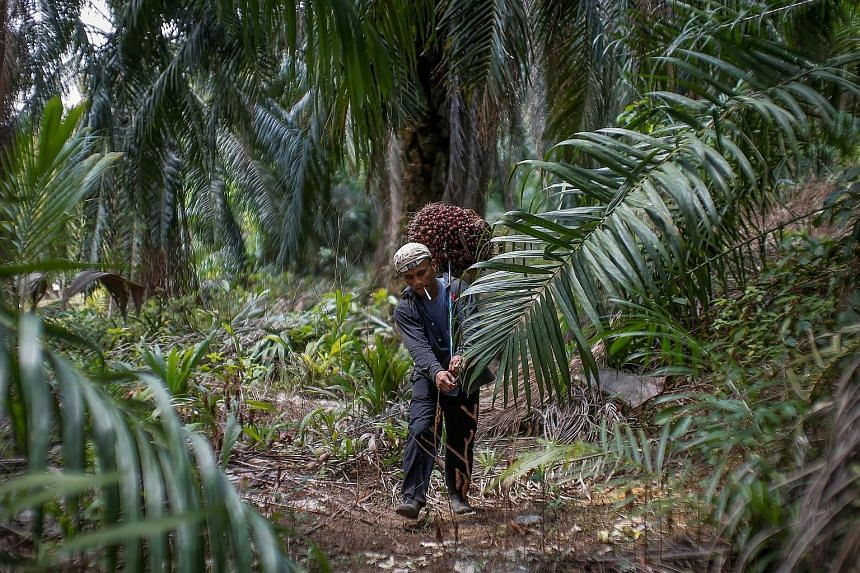 "A worker carrying oil palm fruits at a Felda plantation in Klang, Malaysia. Felda settlers are disgruntled at how the agency is being run, and the opposition sees a golden opportunity to breach these ""safe deposit"" voter banks and secure votes for Ma"