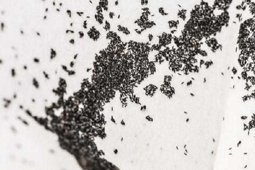 Aedes aegypti eggs.