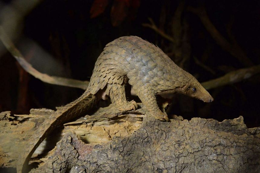 Pangolins are considered the most trafficked mammal on earth.