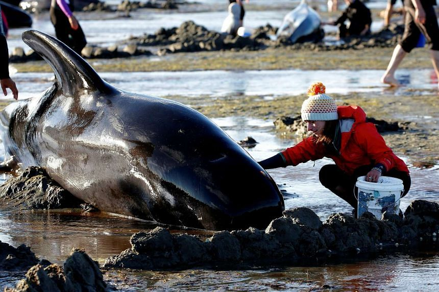 Volunteers attend to some of the hundreds of stranded pilot whales still alive after one of New Zealand's largest recorded mass whale strandings on Feb 10, 2017.