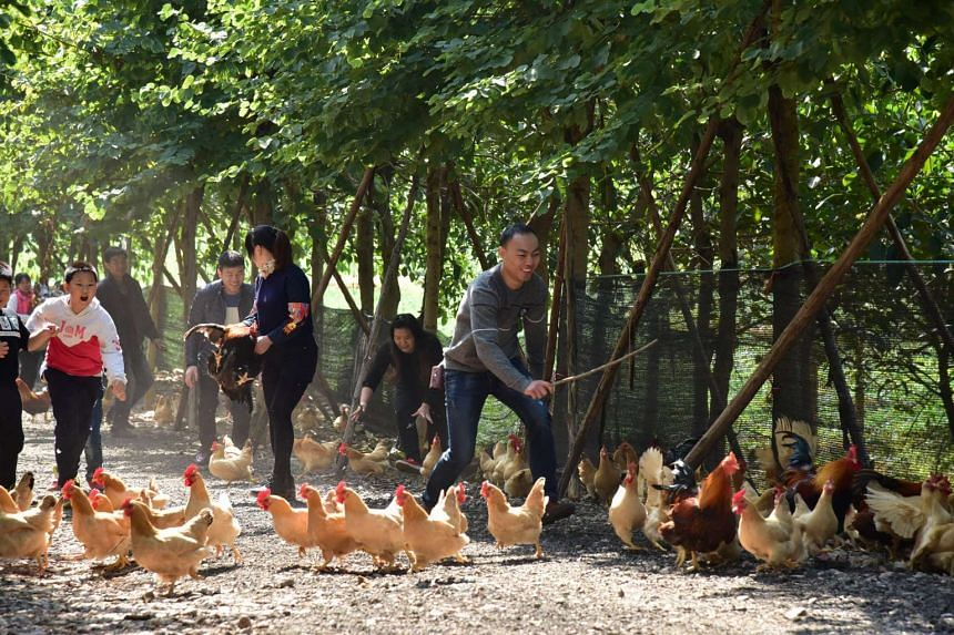 Tourists catch roosters during an event to celebrate the Chinese New Year at a farm in Guangzhou on Jan 22, 2017.
