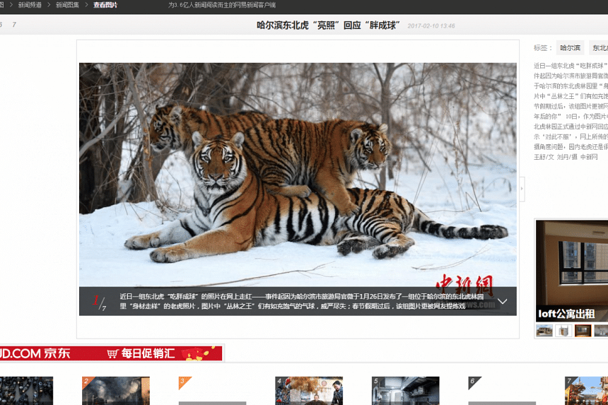 Screen grab of China's NetEase news website showing the supposedly chubby tigers looking considerably thinner.