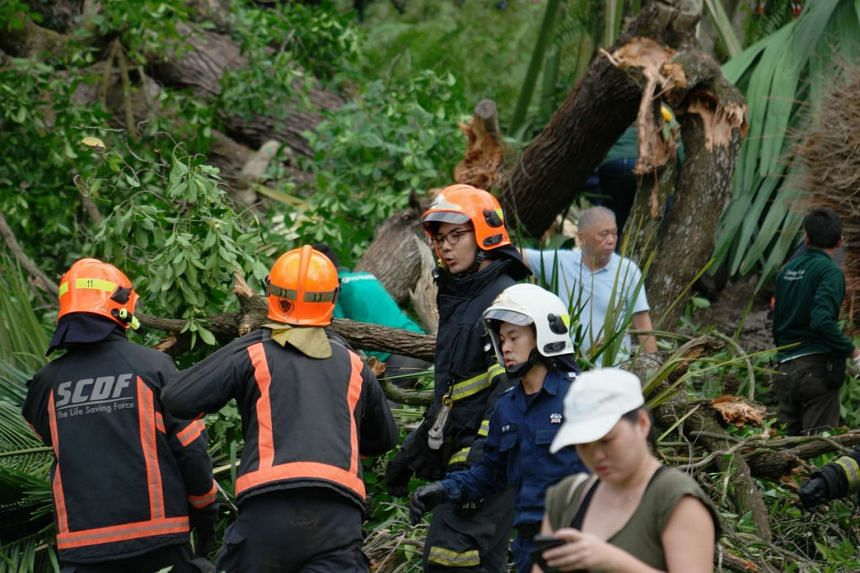 Members of the SCDF and park staff removing parts of the fallen Tembusu tree on Feb 11, 2017.