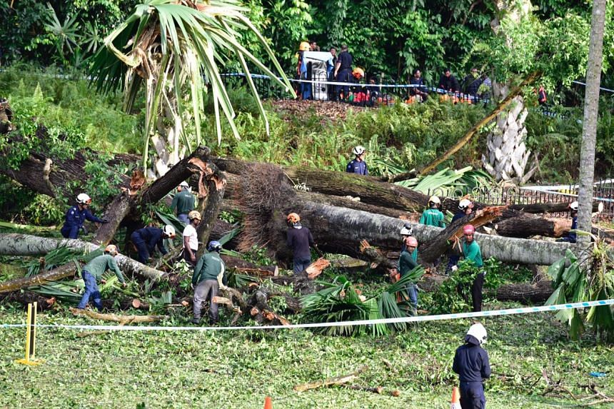 The Tembusu tree fell at the Singapore Botanic Gardens at about 4.30pm on Saturday (Feb 11).