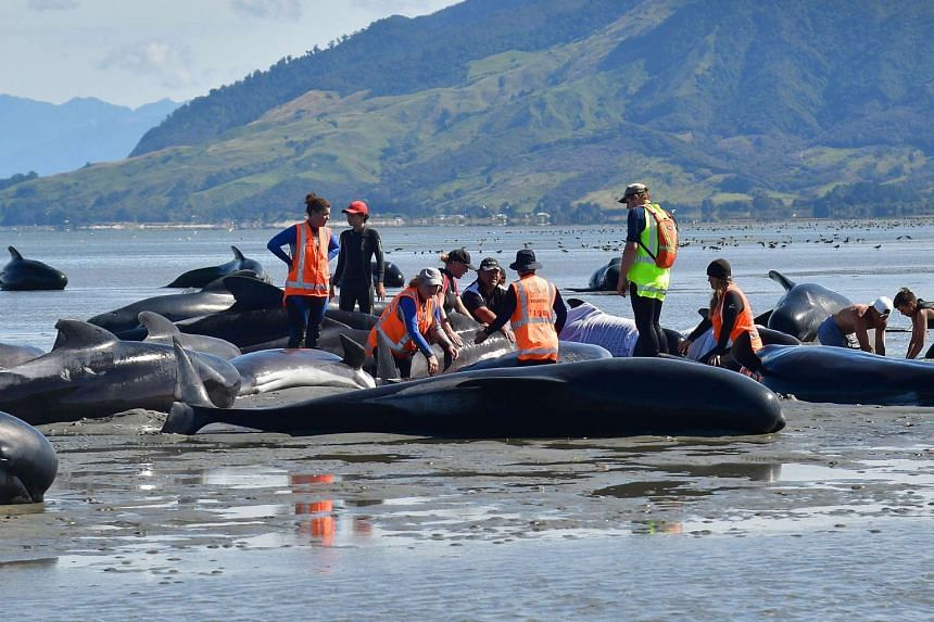Volunteers pour water on pilot whales during a mass stranding at Farewell Spit on Feb 11, 2017.