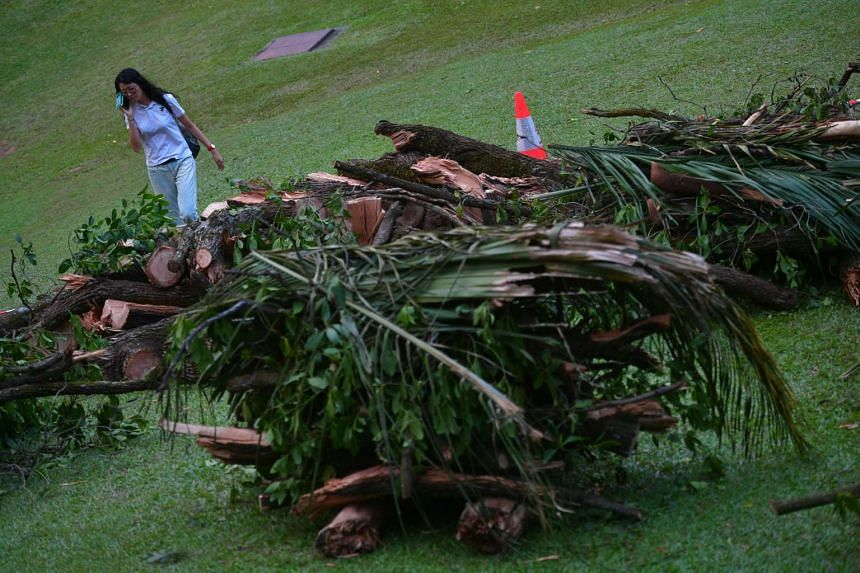 Remnants of the fallen Tembusu tree and palm fronds from the palms that were brought down together with the tree, are seen at the Singapore Botanic Gardens on  Feb 12, 2017.