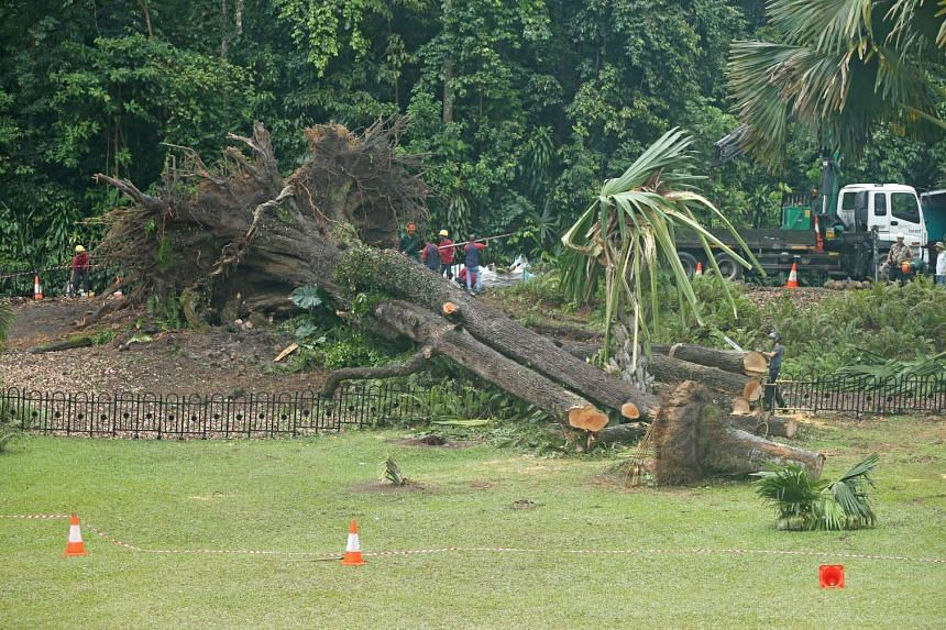 Workers are seen clearing branches and cutting up the trunk of the heritage tembusu tree on Feb 12, 2017, one day after it fell.