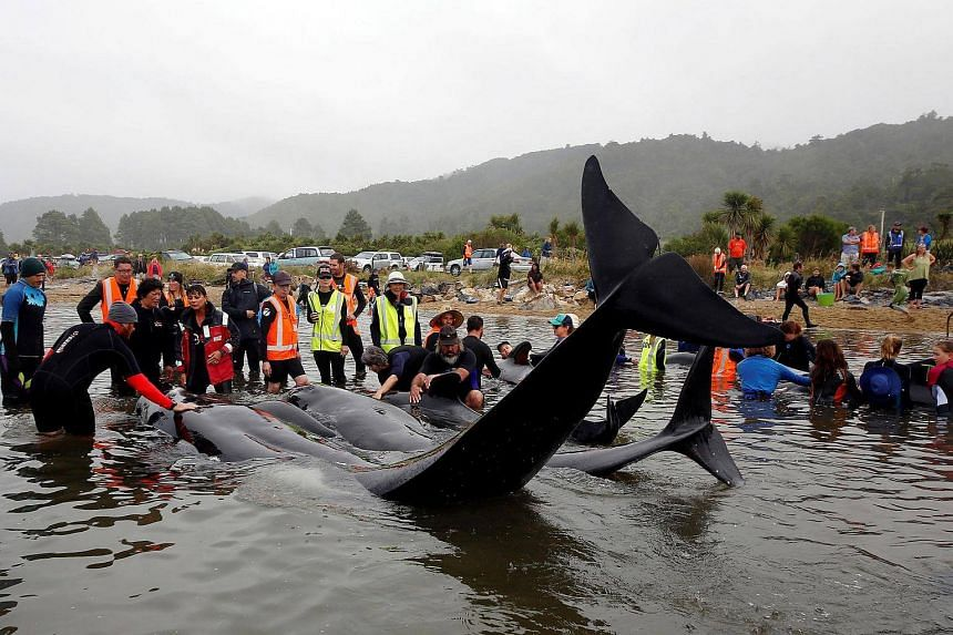 Volunteers look after a pod of stranded whales as they prepare to refloat them in Golden Bay, at the top of New Zealand's South Island.