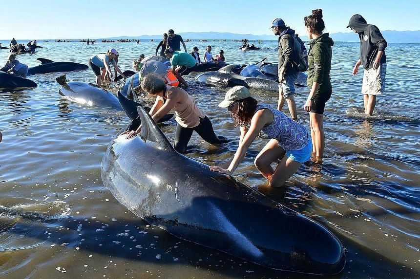 Volunteers caring for stranded pilot whales at Farewell Spit last Saturday. Rescuers are cautiously optimistic that the recent wave of mass beachings in New Zealand is over.