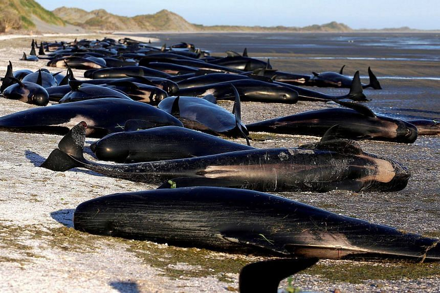 Hundreds of pilot whales died on the beach in Golden Bay after one of New Zealand's largest recorded mass whale strandings on Feb 10, 2017.