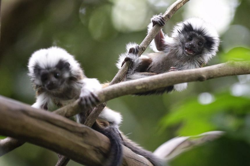 Two baby cotton top tamarins.