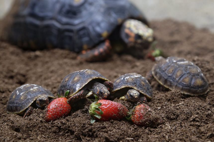 Juvenile red-footed tortoises feeding on strawberries.