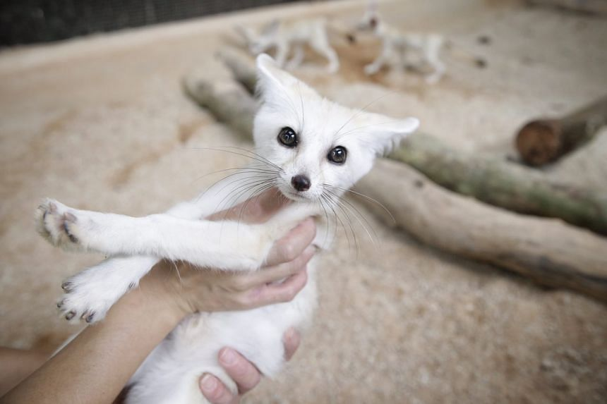 Juvenile fennec foxes have unusually big ears.
