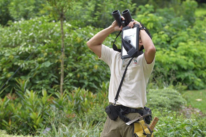 Arborist Clayton Lee, 37 inspecting the heritage tree at the Botanic Gardens.
