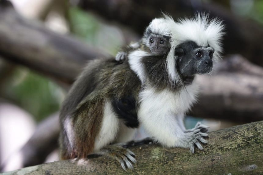 A baby cotton top tamarin perched on its parent's back.
