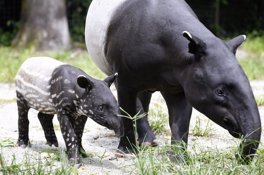 A young tapir feeding next to its mother.