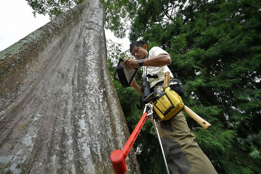 Arborist Clayton Lee (above), 37, does a first-level inspection - a visual ground-based assessment - of the Pulai Basong (right), one of the heritage trees at the Singapore Botanic Gardens. Upon identifying and locating the tree, he checks on things
