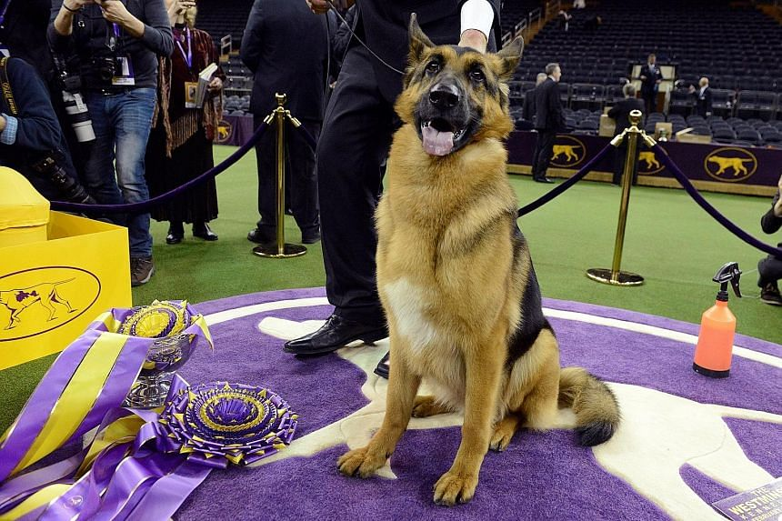 Rumor, a German shepherd and the winner of Best In Show at the 141st Westminster Kennel Club Dog Show, posing for photographers at Madison Square Garden in New York on Tuesday. It is the second German shepherd to win the US' most prestigious dog show
