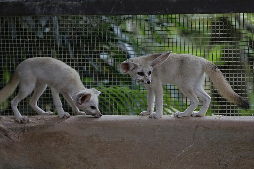Far left: Three fennec foxes were born at the Night Safari last year. They will make their debut in the park's Creatures of the Night show. Left: Cotton-top tamarins are one of the smallest primates in the world and are critically endangered. Below: