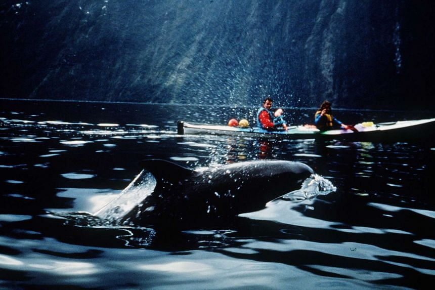 Bottlenose dolphins in Fiordland, South Island, New Zealand.
