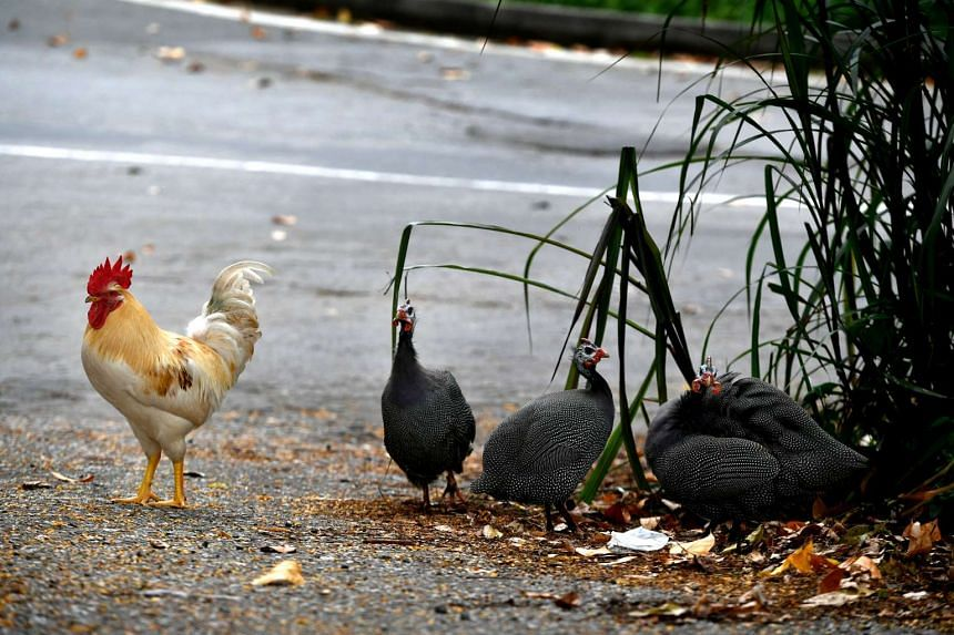A domestic chicken with guinea fowl near Turf City.