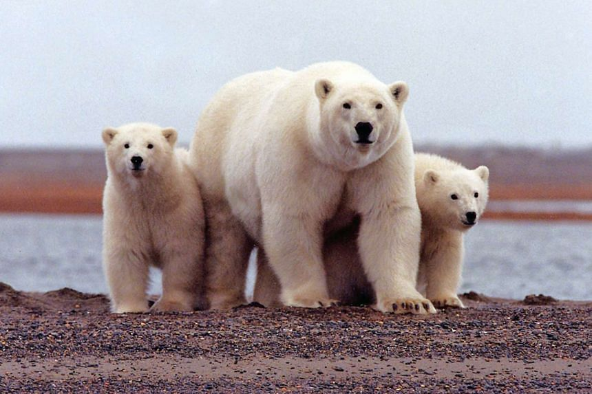 A polar bear keeps close to her young along the Beaufort Sea coast in the Arctic National Wildlife Refuge in Alaska.