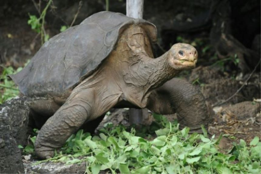 Lonesome George was thought to be around a century old when he died in June 2012.