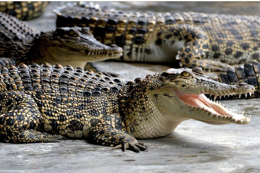 When faced with unfamiliar humans, crocodiles quickly become agitated.